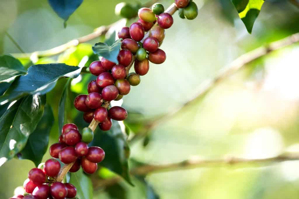 condicoes-do-ambiente-para-melhorar-a-producao-de-cafe