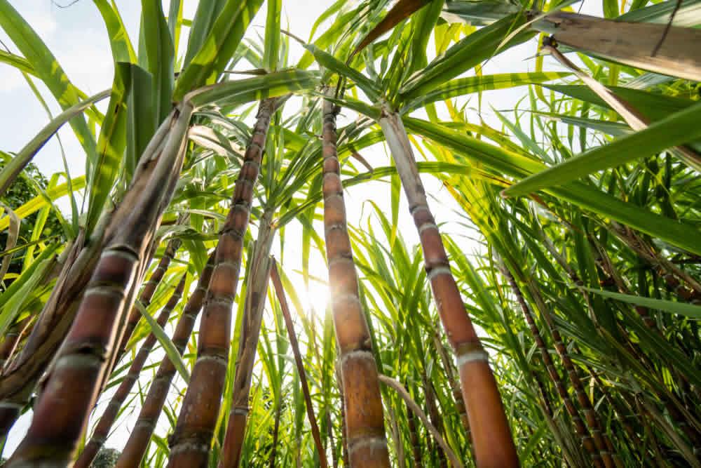 melhor-tipo-de-solo-para-plantar-cana-de-acucar