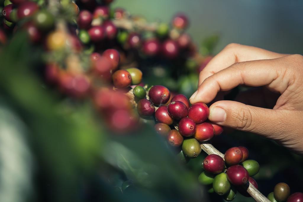 quais-as-variedades-de-cafe-mais-produtivas