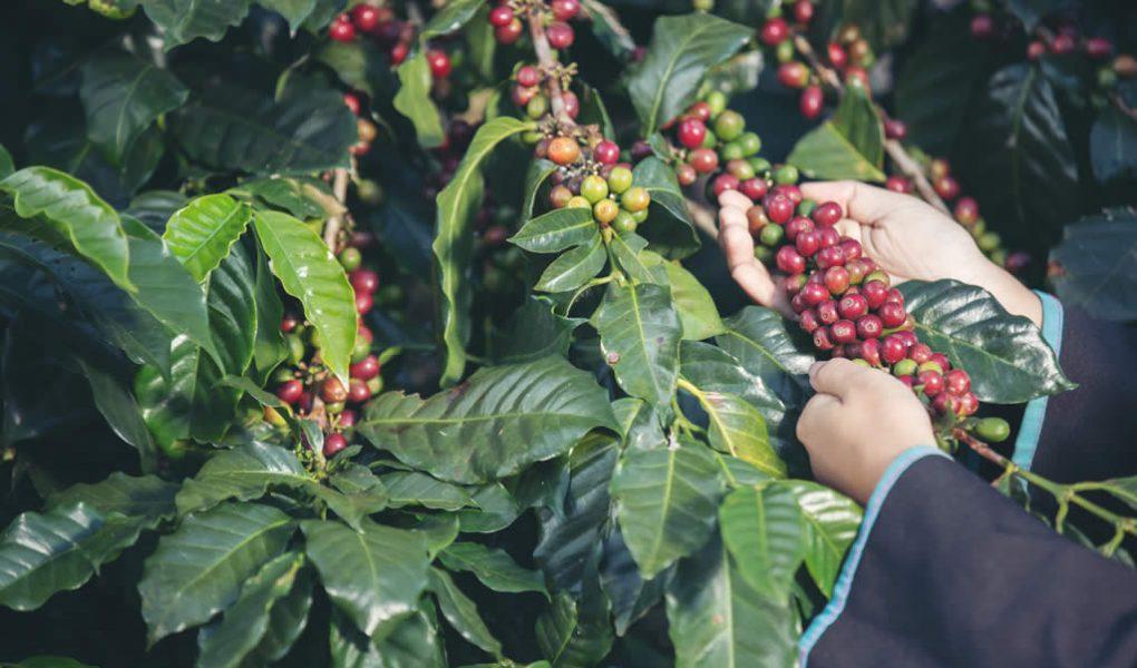 variedades-de-cafe-mais-produtivas